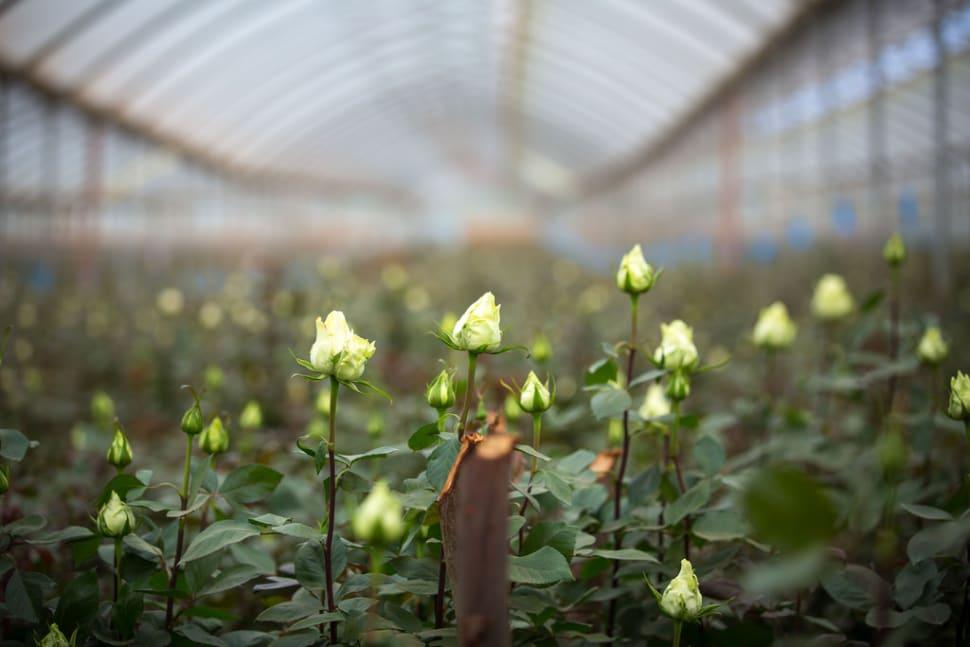 Naivasha Flower Farm in Kenya - Best Time
