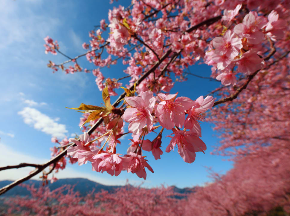 Cherry Blossoms in Japan - Best Time