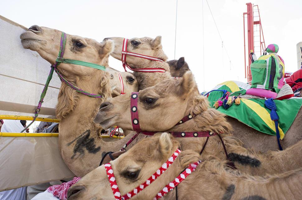Camel Racing Season in Dubai - Best Time