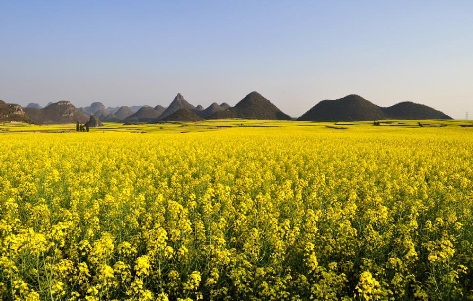 Canola Fields in Luoping in China - Best Time