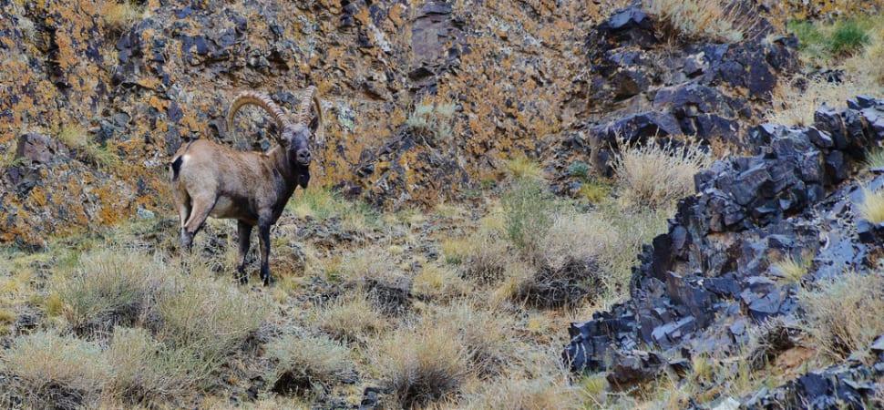 Ibex Tost Uul Gobi Desert Mongolia