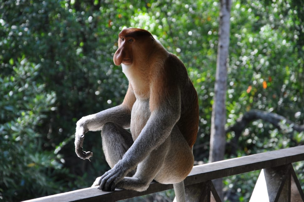 Proboscis Monkeys in Borneo - Best Time