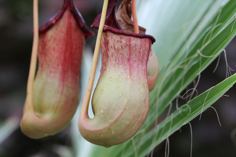 Best time for Pitcher Plant or Nepenthes in Malaysia