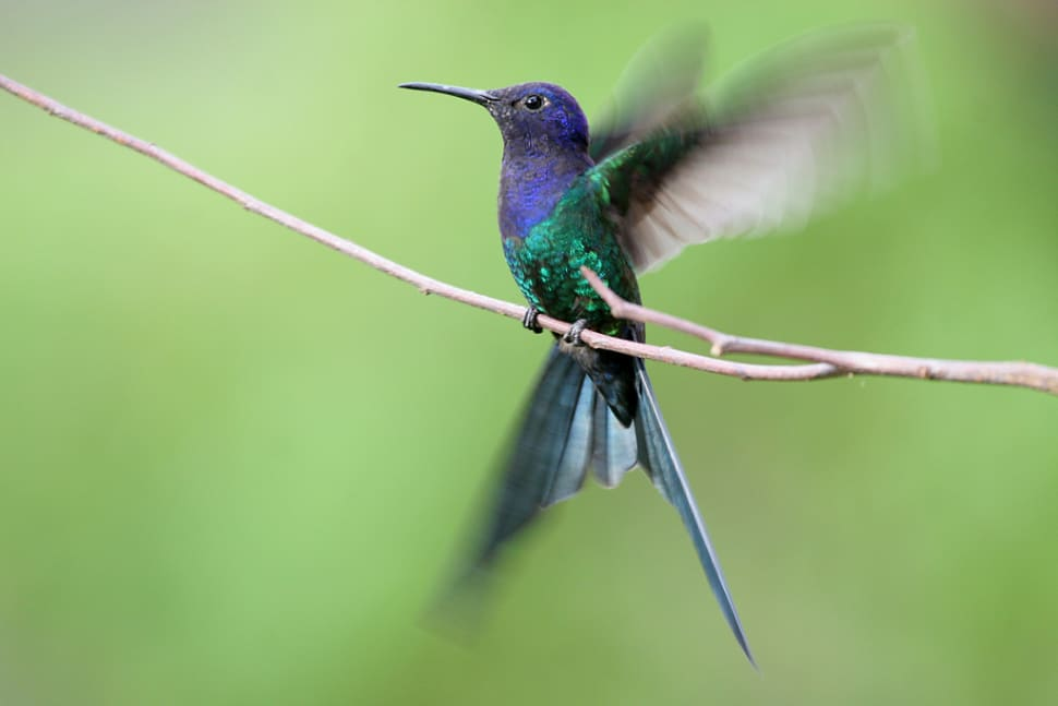 Swallow-Tailed Hummingbird in Rio de Janeiro - Best Time