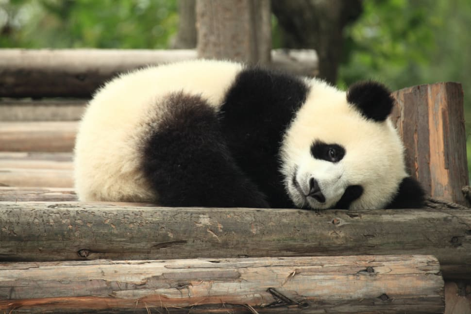 Giant Pandas in China - Best Time
