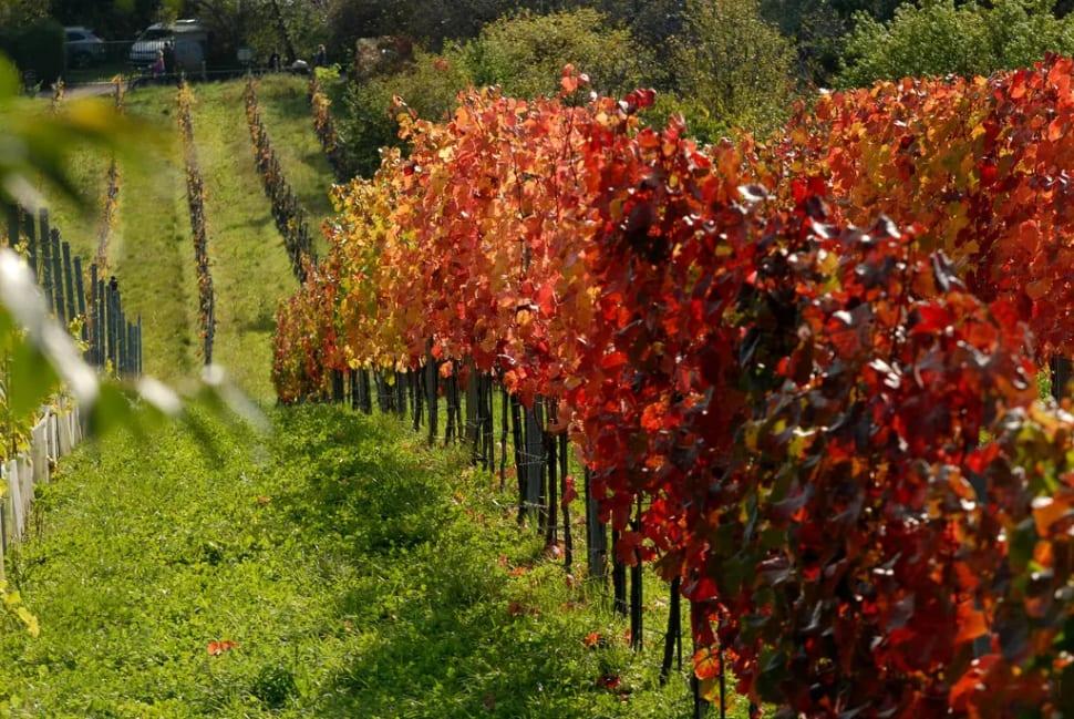 Wine Hiking Day (Weinwandertag) in Vienna - Best Time