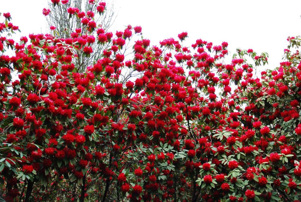 Rhododendron Blooming in Dandenong Ranges Botanic Garden in Victoria - Best Season