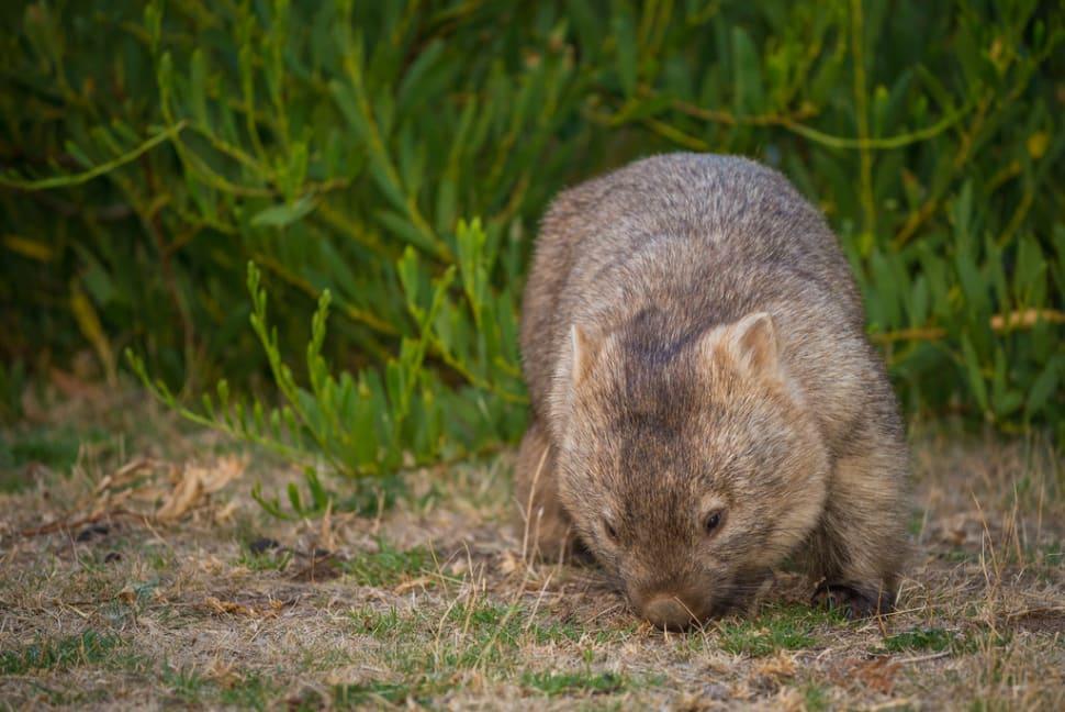 Wombat Watching in Victoria - Best Season