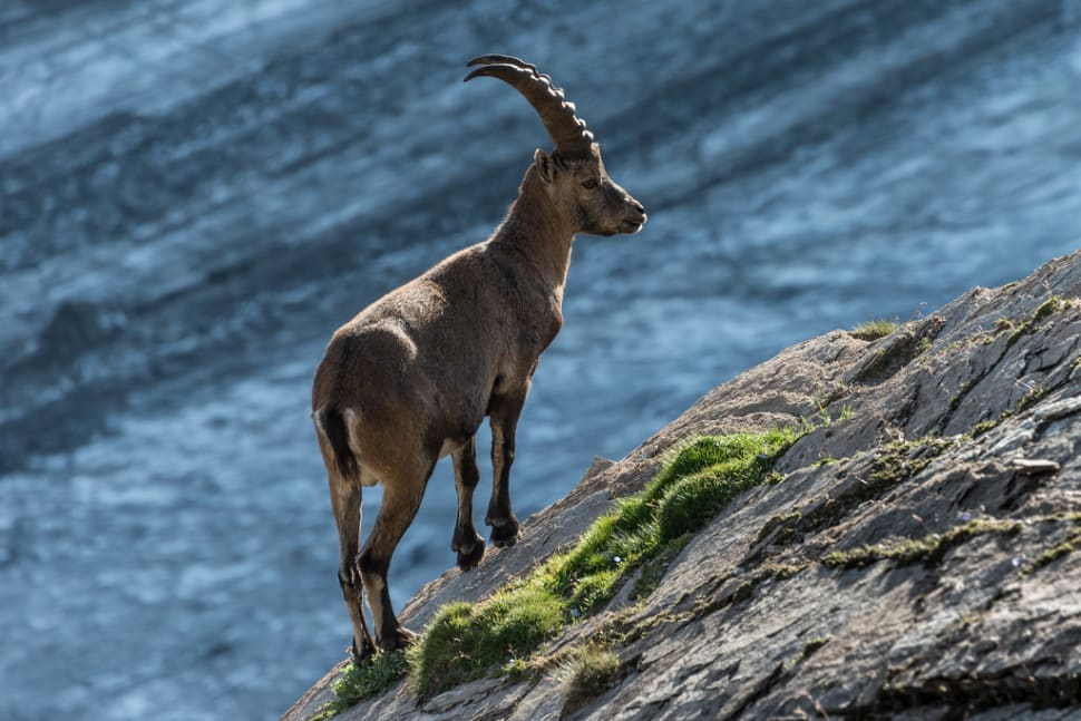 Alpine Ibex in Austria - Best Time
