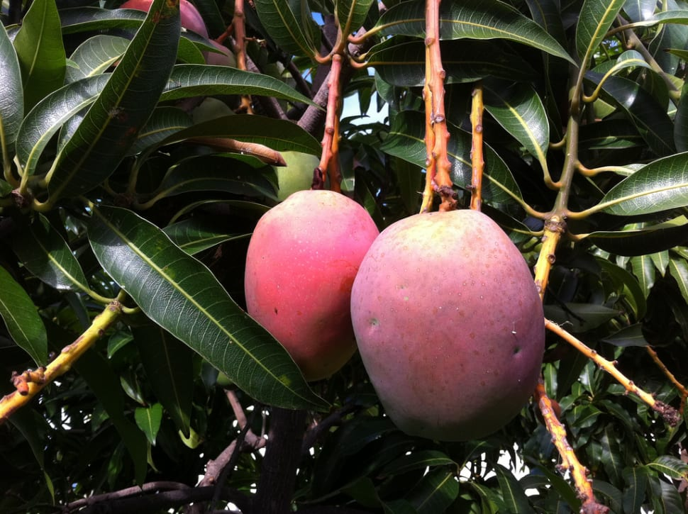 Ripe and juicy mangoes