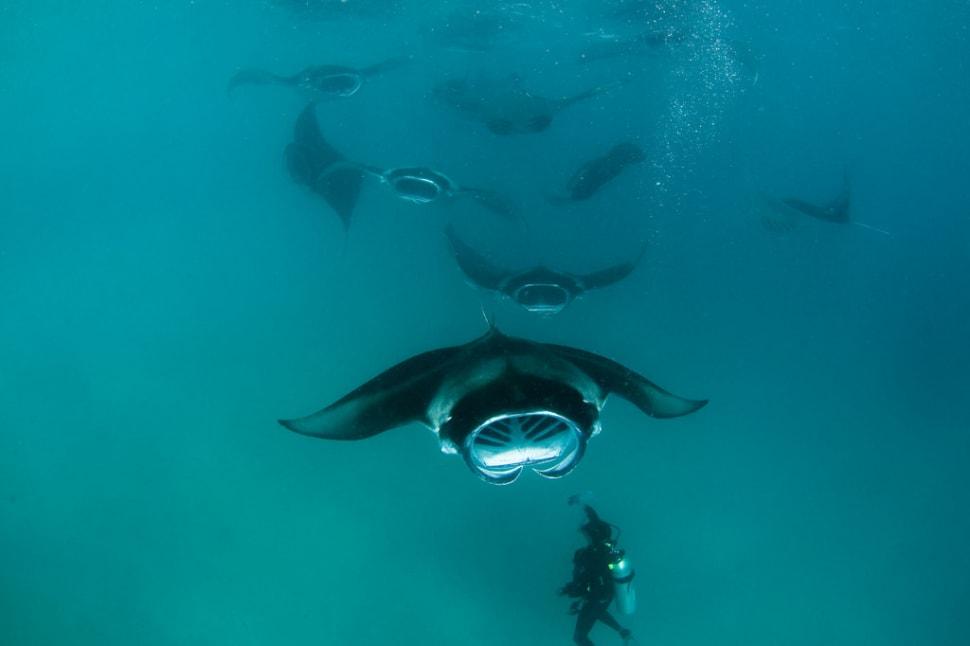 Manta Rays in Baa Atoll in Maldives - Best Season