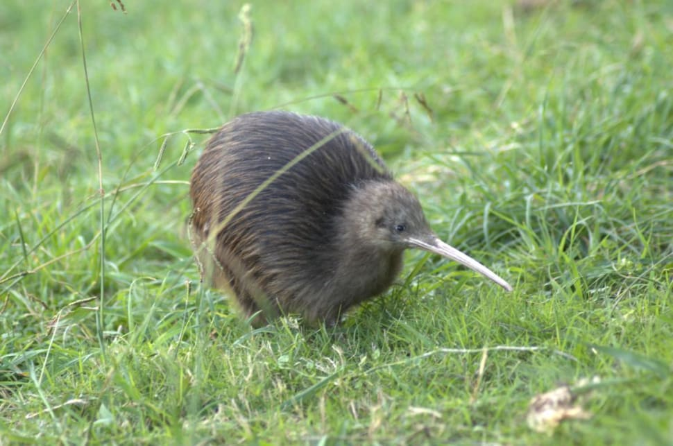 Kiwis' Breeding Season in New Zealand - Best Time