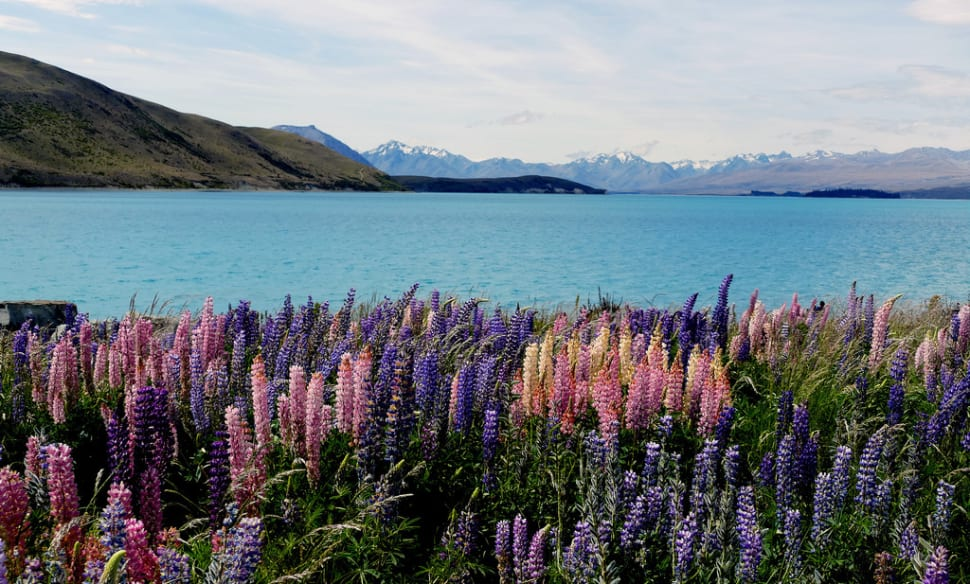 Lupin Spotting in New Zealand - Best Season