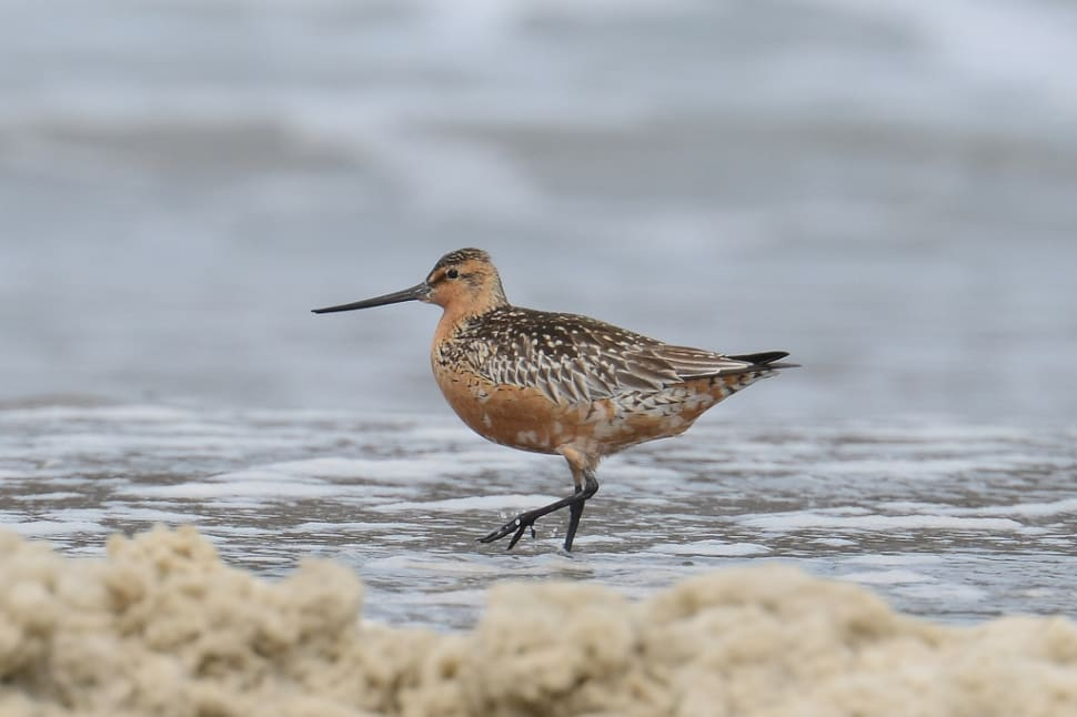 Best time for Bar-Tailed Godwits