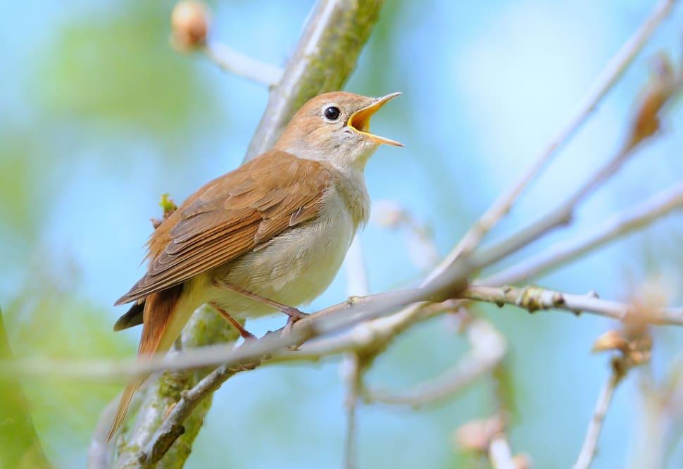 Nightingales in Cyprus - Best Season