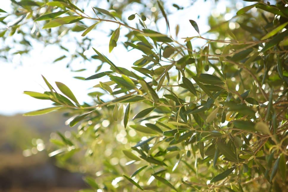 Olive Harvest in Corsica - Best Season