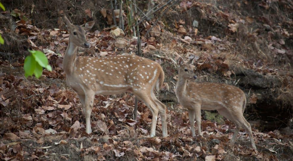Deer in the Bandhavgarh National Park