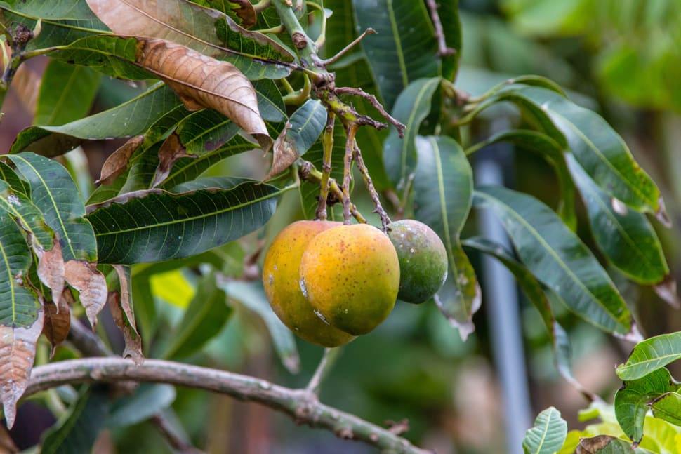 Mango Season in Canary Islands - Best Season