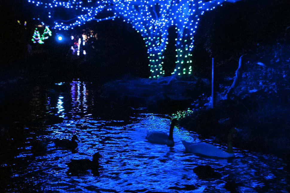 Swan pond at the L.A. Zoo, illuminated for the holidays.