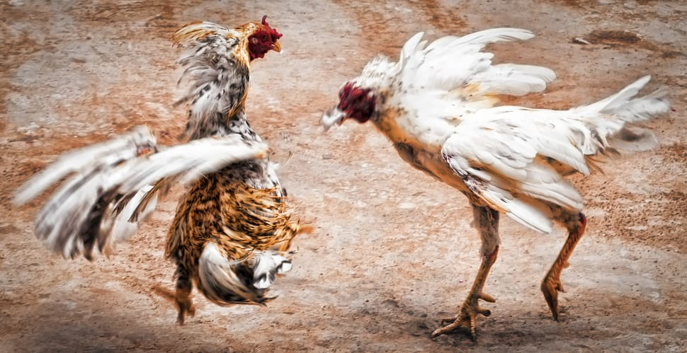 Cockfighting in Mexico - Best Time