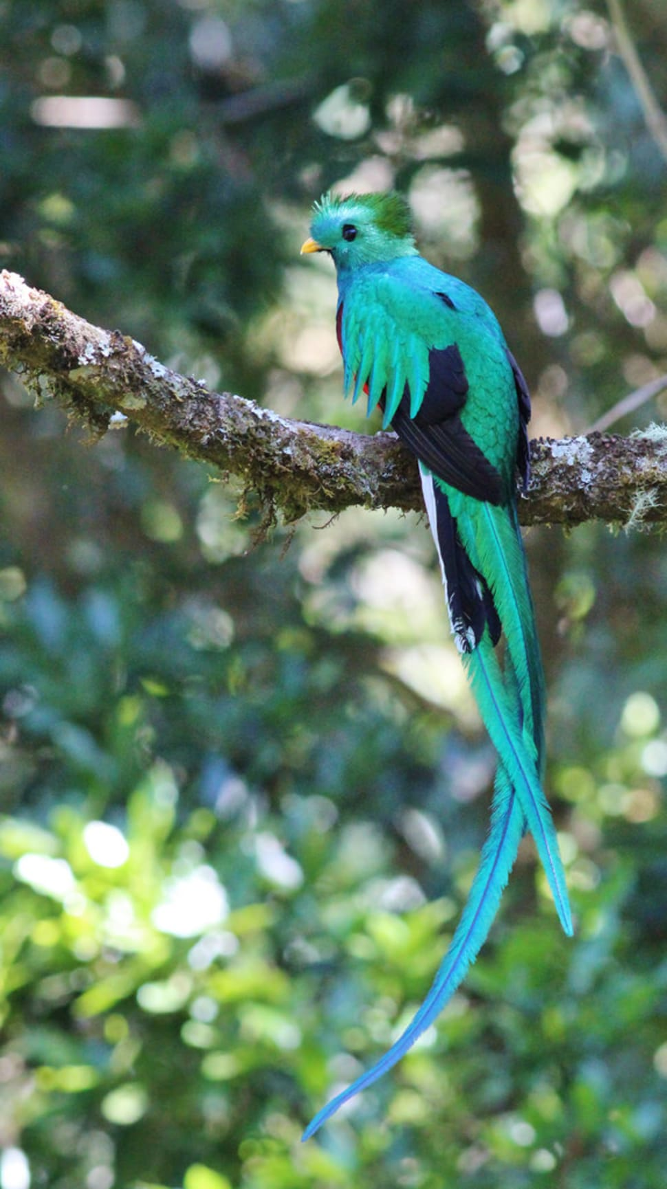 Resplendent Quetzal in Costa Rica - Best Season