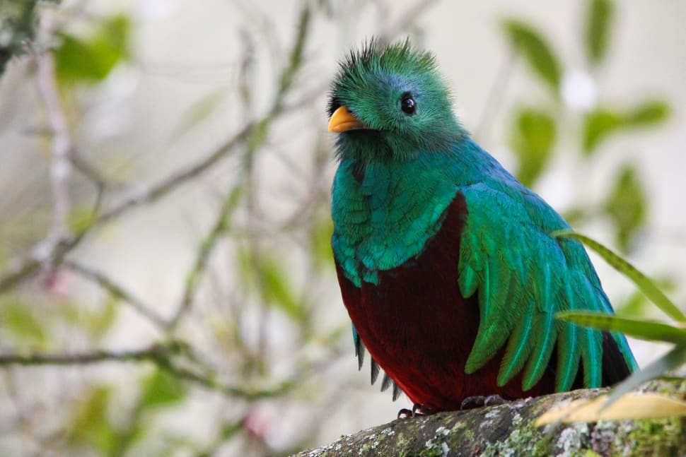 Resplendent Quetzal in Costa Rica - Best Time