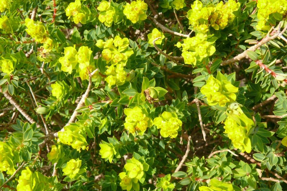 Maltese Spurge Flowering Season in Malta - Best Time