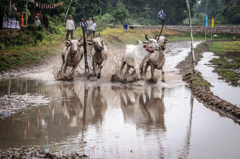 Cow Racing Festival in Vietnam - Best Season