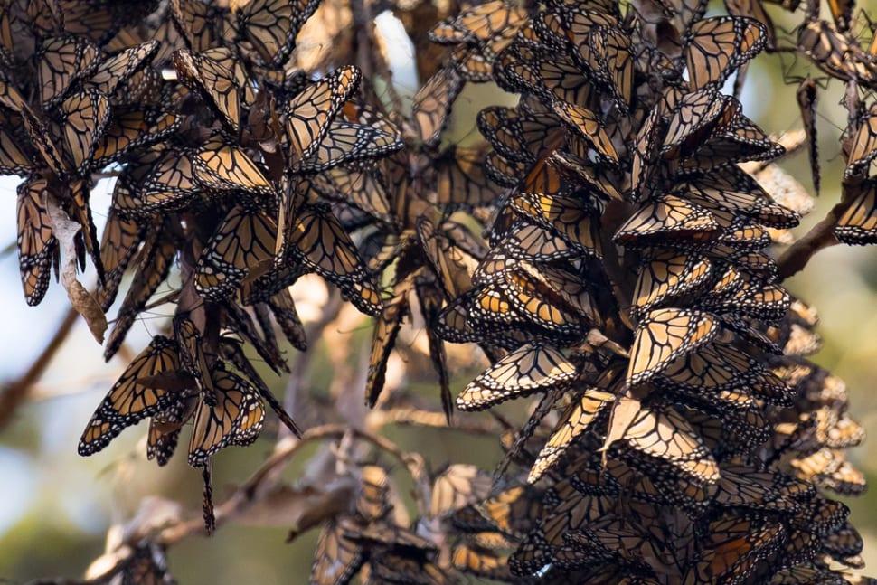 Goleta Monarch Butterfly Grove  in Los Angeles - Best Time