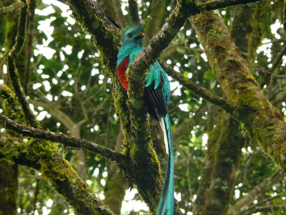 Resplendent Quetzal, national bird of Guatemala