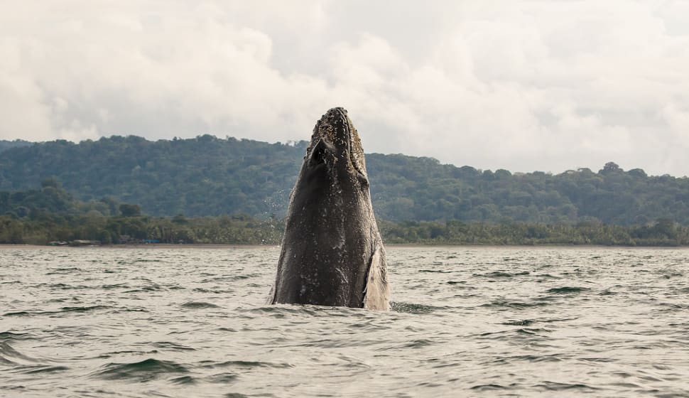 Humpback Whales in Colombia - Best Time