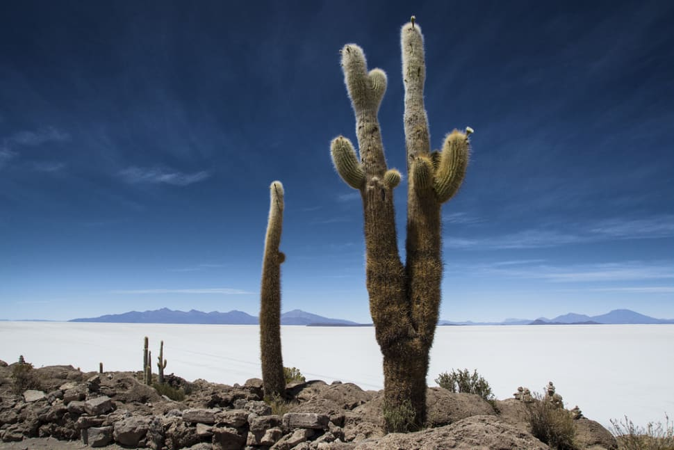 Incahuasi Cactus