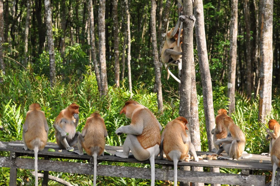 Proboscis Monkeys in Borneo - Best Season