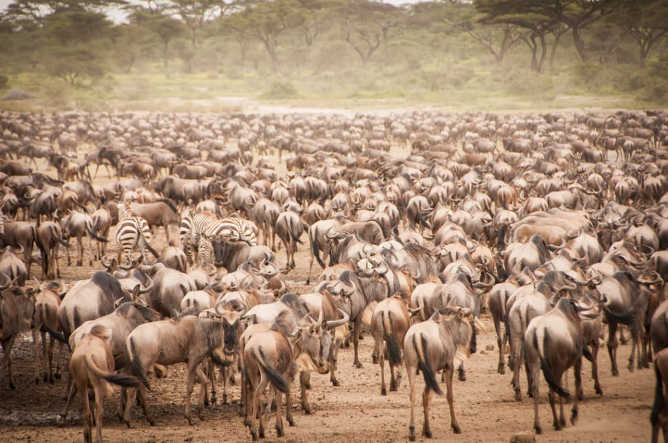 African Safari: The Great Migration, Serengeti National Park Tanzania