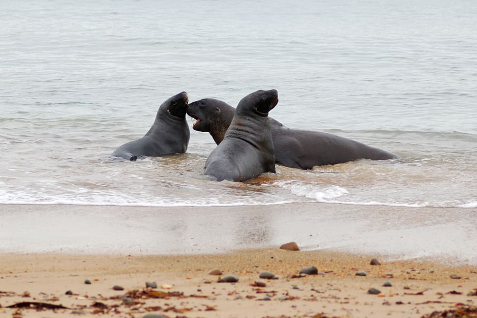Sea Lions Breeding Season in New Zealand - Best Season