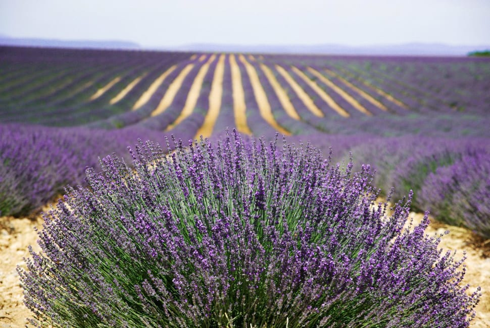 Lavender Fields in Bloom in Provence & French Riviera - Best Time