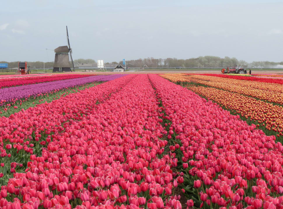 Tulip Season in The Netherlands - Best Season