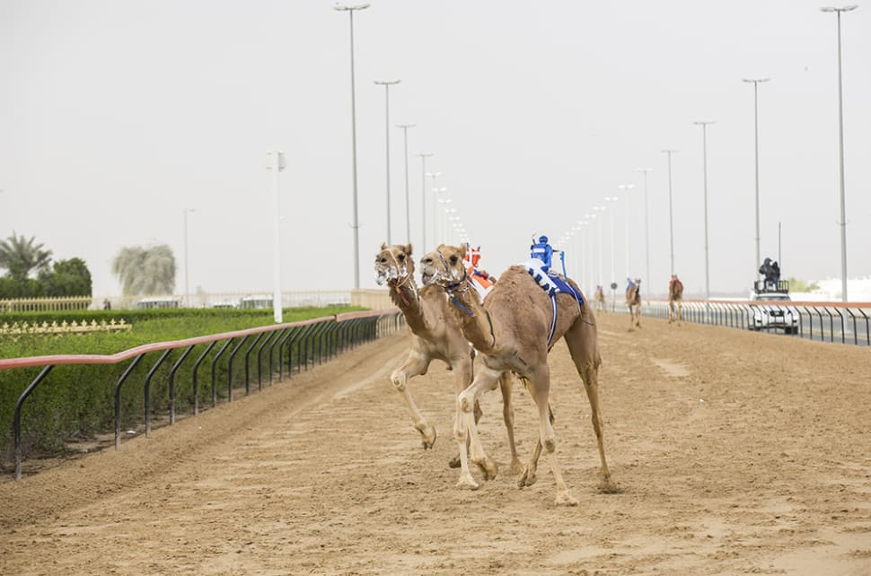 Best time for camel racing season in dubai 2018 map rove best time for camel racing season in dubai thecheapjerseys Choice Image