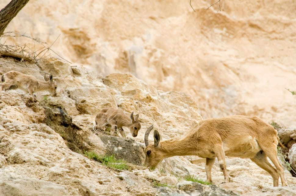 Nubian Ibex Baby Mountain Goats in Israel - Best Season