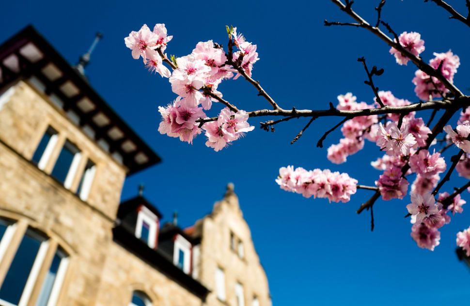 Almond Blossom Along the Wine Route in Germany - Best Time