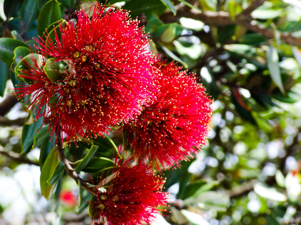 Pohutukawa Tree in New Zealand - Best Time