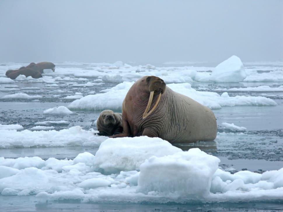 Walrus Watching in Alaska - Best Time