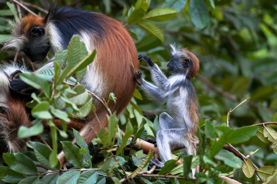 Best time for Baby Red Colobus Monkeys in Zanzibar