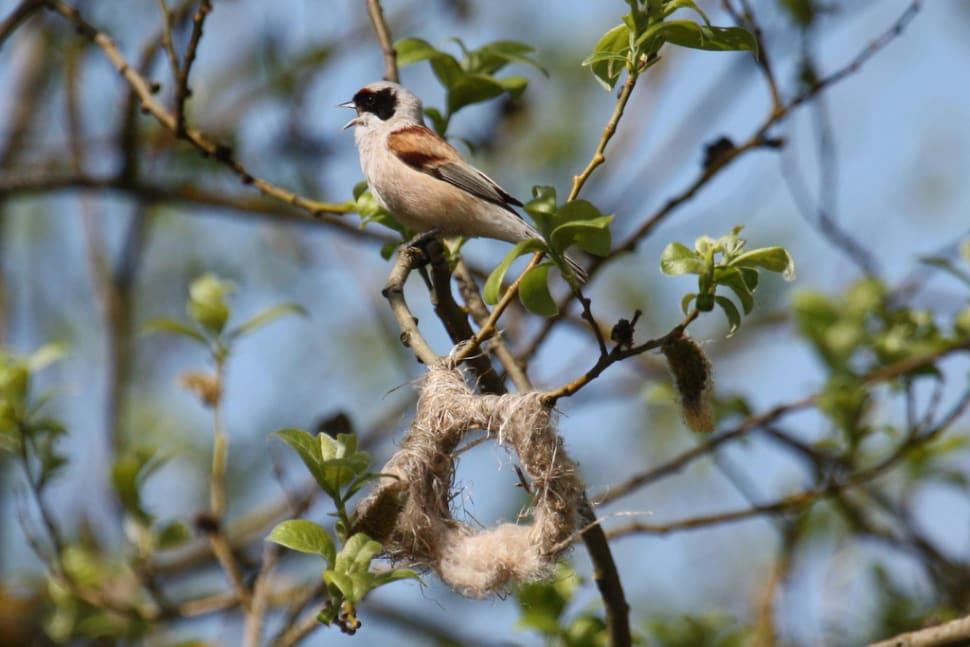 Penduline Tit nest building