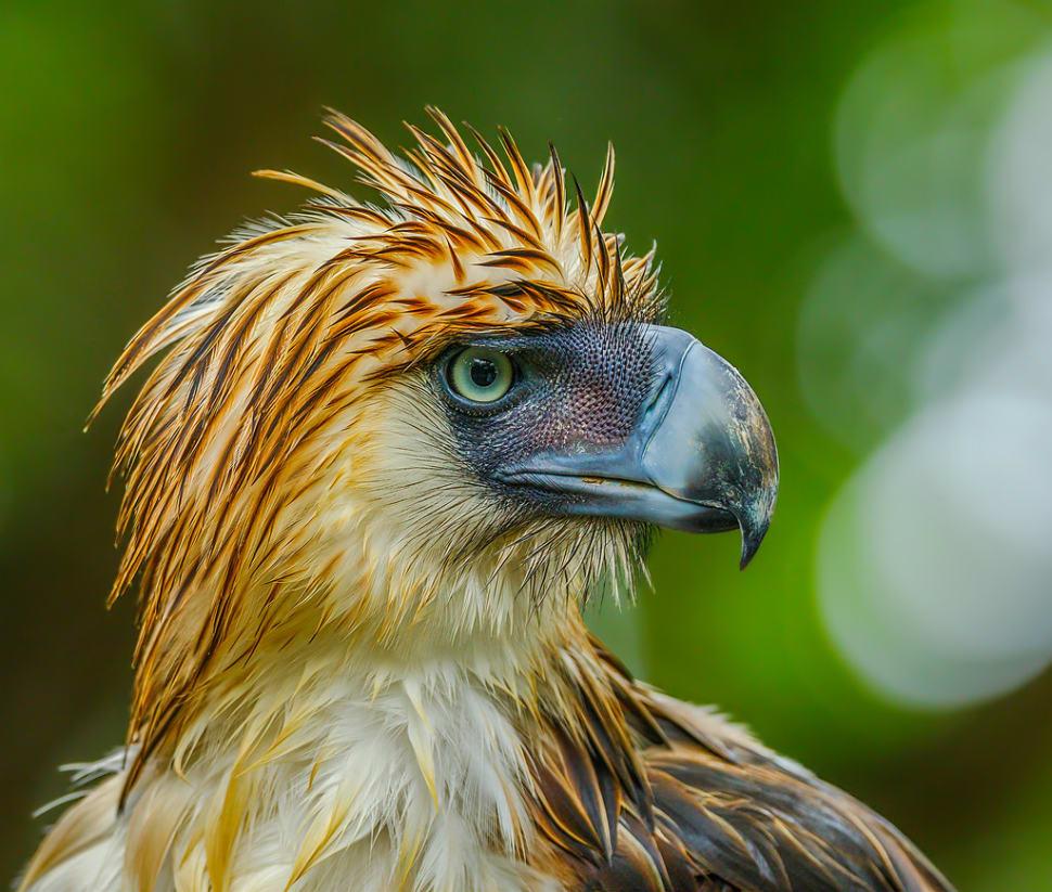 Philippine Eagle in Philippines - Best Season
