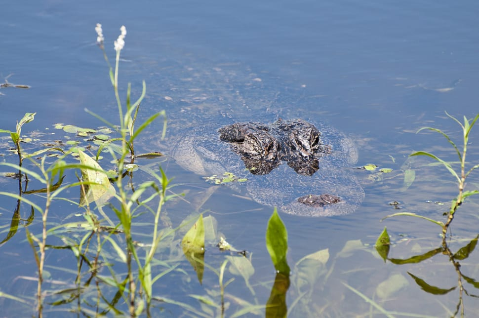 Alligator at Elm Lake