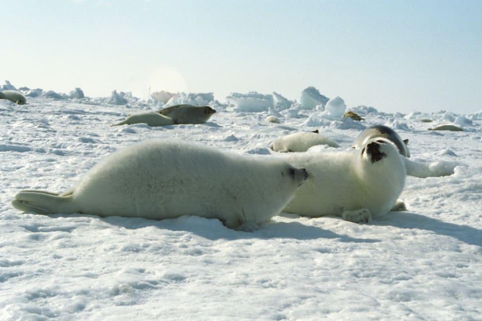 Baby Seals in Quebec - Best Season