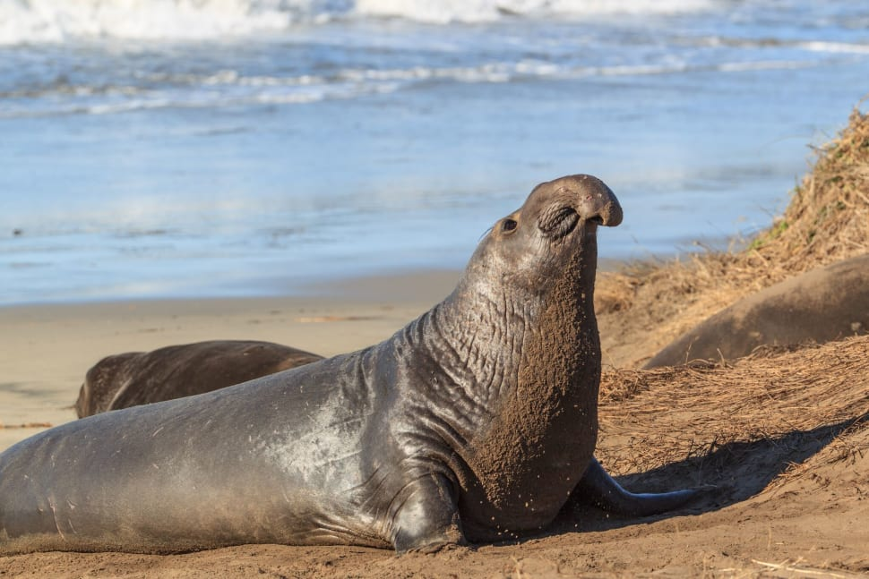 Best time to see Elephant Seals in California