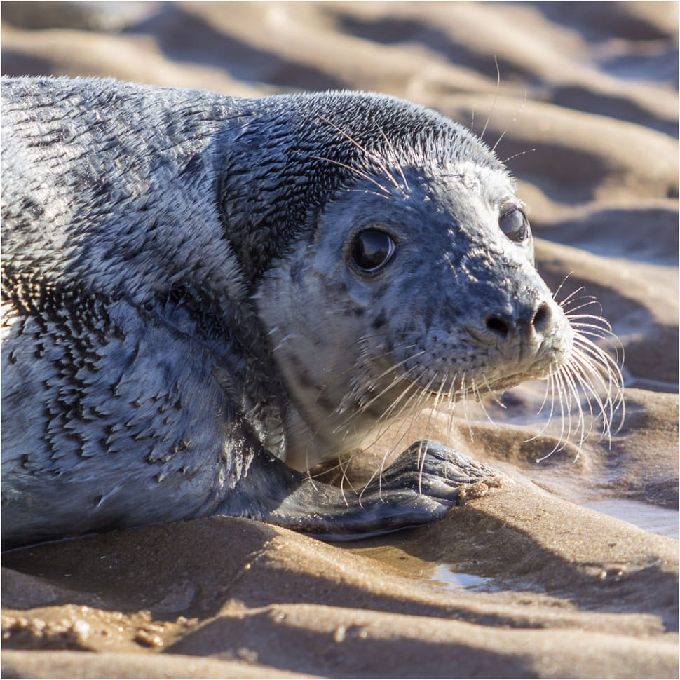 Seal Pups in Scotland - Best Time
