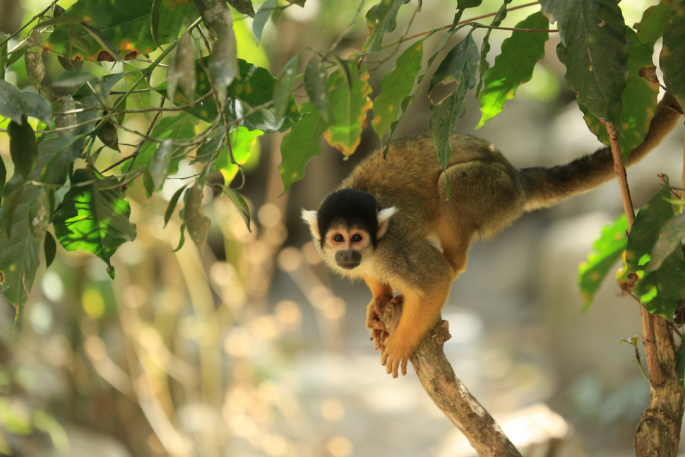 Things to do in Bolivia : Squirrel Monkeys